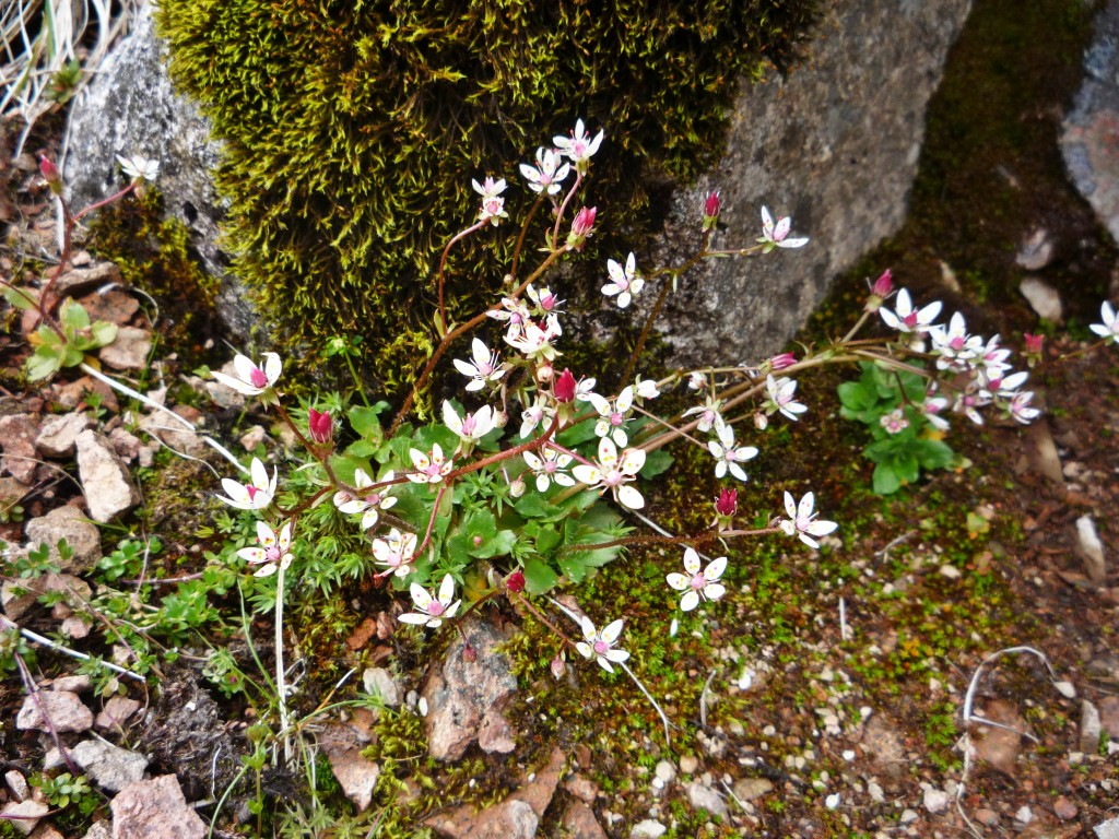 Lightfoot's Starry Saxifrage