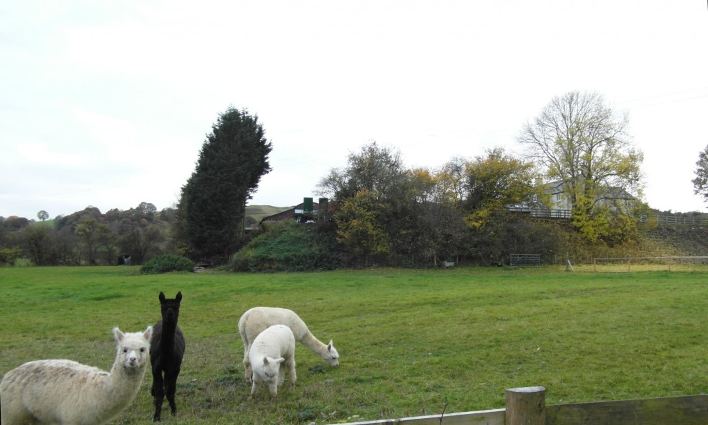 Hendre Isaf and alpacas