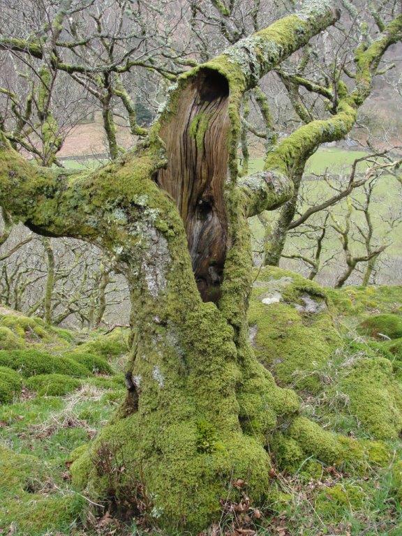 Plate 5 Old oaks